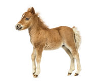 Side view young poney, foal against white background Stock Photos