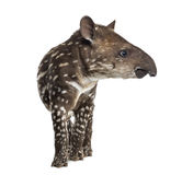 Side view of a young South american tapir, isolated on white Stock Images