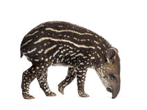 Side view of a young South american tapir sniffing Royalty Free Stock Photo