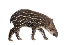 Side view of a young South american tapir sniffing Royalty Free Stock Photos