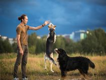 Young man walking with two dogs Bernese Mountain Dog and shepherd dogon the summer field. Side view at a young stylish caucasian man training two dogs Bernese stock photo