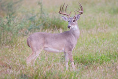 Side view of young whitetail buck Stock Photo