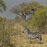 Side view of zebra standing in grassland, Tanzania Royalty Free Stock Photo