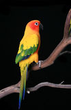 Side Viiew of a Sun Conure on a Branch Stock Photo