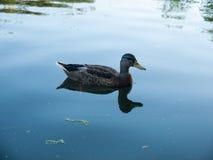 Side ways female mallard on lake close up. Suffolk; UK Royalty Free Stock Photo