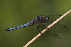 Side of wild  blue  black dragonfly Royalty Free Stock Image