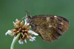 Brown  butterfly  on a  flower Stock Photography
