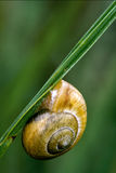 Phyla minori. Side of wild brown snail gastropoda  phyla minori on a green leaf  in the bush Stock Photography