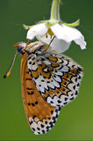 Side of wild brown white orange butterfly. Side of wild brown    white orange butterfly  on a white flower  in the bush Stock Images