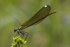Side of wild gold green dragonfly Royalty Free Stock Photo