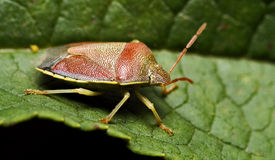 Side of wild  hemiptera Stock Photo