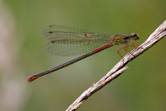 Red black dragonfly coenagrion puella Stock Images