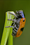 The side of  wild red cercopidae vulnerata Stock Photography