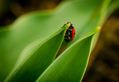 The side of wild red ladybug coccinellidae anatis ocellata coleoptera ladybird on a green grass Royalty Free Stock Photography