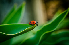 The side of wild red ladybug coccinellidae anatis ocellata coleoptera ladybird on a green grass Royalty Free Stock Photos