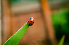 The side of wild red ladybug coccinellidae anatis ocellata coleoptera ladybird on a green grass Stock Photos