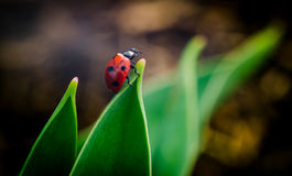 The side of wild red ladybug coccinellidae anatis ocellata coleoptera ladybird on a green grass Stock Photo
