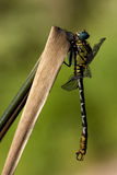 Dragonfly anax imperator on a  leaf Stock Photography