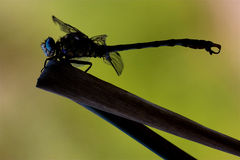 Side    wild  yellow black dragonfly anax Royalty Free Stock Images