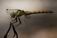 side of wild  yellow black dragonfly on a  branch Royalty Free Stock Image