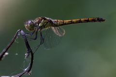 Side of wild  yellow black dragonfly Royalty Free Stock Photography