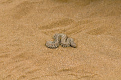 Side winder snake in the Namib desert Royalty Free Stock Photography