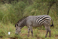 Side-on Zebra in nature Stock Photos