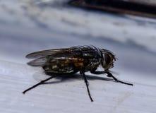 Sidelayout de la mosca Fotos de archivo libres de regalías