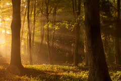 Sidelight. A foggy forest in autumn, the morning light shines though the trees Stock Photos