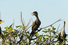 Sidelit Double-crested Cormorant Royalty Free Stock Image