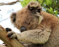 Sidelong flüchtiger Blick eines Koala Lizenzfreie Stockfotos