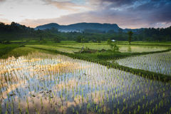 Sidemen, Bali. New rice is planted in a flooded field. The beautiful sunrise is reflected in the water. Sidemen has some of the most beautiful rice terraces in Royalty Free Stock Photo