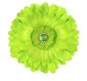 Siden- Germini Daisy Flower Arkivbilder