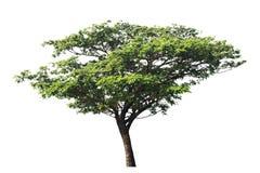Siden- träd eller östligt indiskt valnötträd eller regnträd som isoleras på vit bakgrund med urklippbanan royaltyfri fotografi