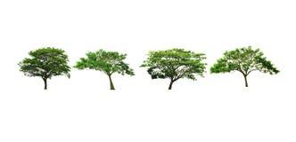 Siden- träd eller valnötträd för östlig indier eller regnträd som isoleras på vit bakgrund arkivbild