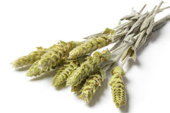 Sideritis Scardica del tè di erbe della montagna su bianco Fotografia Stock Libera da Diritti