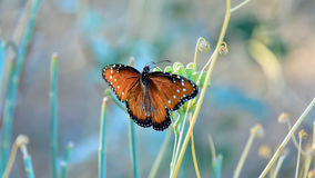 Sidetracked. A Monarch basking in the morning sun Royalty Free Stock Photography