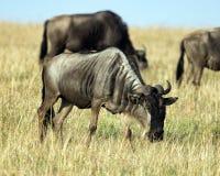 Sideview της ενήλικης βοσκής Wildebeest Στοκ Εικόνες