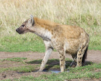 Sideview της επισημασμένης ούρησης hyena Στοκ Εικόνες