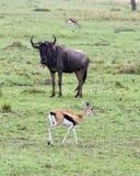 Sideview της πιό wildebeest στάσης στην κοντή πράσινη χλόη με ένα Thompson Gazelle στο πρώτο πλάνο και το υπόβαθρο Στοκ φωτογραφία με δικαίωμα ελεύθερης χρήσης