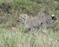Sideview гепарда 2 детенышей, одного положения и одного лежа в высокой траве Стоковая Фотография