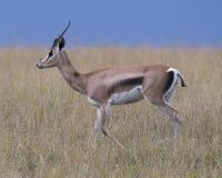 Sideview крупного плана газеля Томпсона с antlers идя в траву при поднятая голова Стоковые Фотографии RF