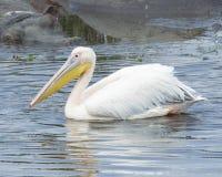 Sideview крупного плана одиночных белых пеликанов плавая в водопое с одним частично погруженным в воду гиппопотамом на заднем пла Стоковое Изображение