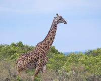 Sideview крупного плана одного жирафа Masai идя через высокие кусты с голубым небом на заднем плане Стоковые Фотографии RF