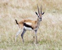 Sideview крупного плана одного мужского газеля Томпсона при antlers standinging в траве при бдительно поднятая голова Стоковая Фотография RF