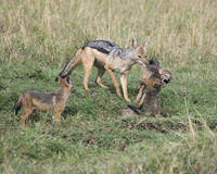 Sideview крупного плана jackal матери поддерживаемого черно вытягивая бой cubs врозь Стоковое Изображение RF