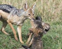 Sideview крупного плана jackal матери поддерживаемого черно вытягивая бой cubs врозь Стоковые Изображения RF