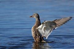 Sideview крылов flapping утки кряквы Стоковая Фотография