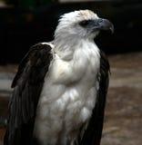 sideview орла Стоковые Изображения