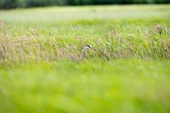Sideview серого Ardea цапли cinerea в траве Стоковая Фотография